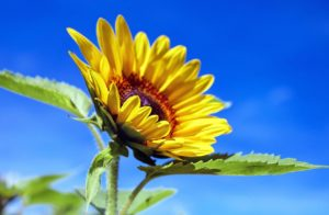 sunflower-1536088_1280